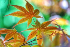 Maple leaves (JPShen) Tags: leaf maple colorful bokeh