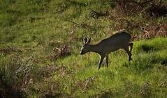 Roe Deer (MrBlackSun) Tags: morning france sunrise early nikon deer parc roe roedeer auvergne forez naturel parcnaturel d810 livradois nikond810 livradoisforez parcnaturelregionallivradoisforez
