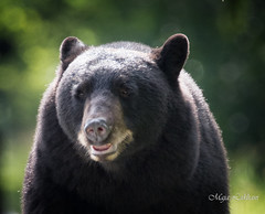 Bear encounters (Maja's Photography) Tags: blackbears bears cubs portrait animals wildlife conservation coexistence behaviour nature canon bc