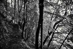 Schattiger Waldsteig (Helmut Reichelt) Tags: bw sw waldsteig felsenweg schattig sdufer kochelsee seewand schlehdorf oberbayern bavaria deutschland germany leica leicam typ240 captureone9 silverefexpro2 leicasummilux35mmf14asphii