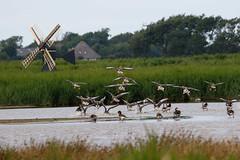 Greylag goose (Anser anser) (LauriusV) Tags: netherlands nl noordholland oudeschild familyanatidae orderanseriformes genusanser englishgreylaggoose speciesanseranser lithuanianpilkojisis