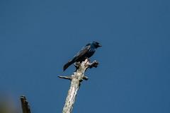 Indigo Bunting (adirondack_native) Tags: bird blue back bay wildlife refuge tree indigo bunting