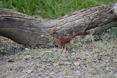 Juvenile Male Cardinal (TastyPrawn) Tags: southllanoriverstatepark southllanoriver texas junctiontx junction junctiontexas nature wildlife statepark bird birds cardinal