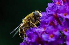 Doodskopzweefvlieg - Myathropa florea (Gerald Schuring) Tags: macro geraldschuring gerald schuring doodskopzweefvlieg doodshoofdzweefvlieg zweefvlieg bij wesp vlieg