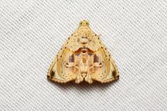 Eulepidotis sp. - Costa Rica (Nick Dean1) Tags: eulepidotis lepidoptera costarica lakearenal guanacaste noctuidae animalia arthropoda arthropod hexapoda hexapod insect insecta