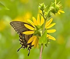 Butterfly Beauty (jwroach) Tags: beauty beautiful amazing black eastern tiger swallowtail butterfly butterflies yellow flower nature outdoors wildlife