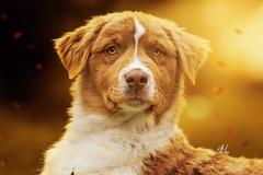 Ruby (Alexandremqs) Tags: australian shepherd dog expression breeder portugal warm colors yellow pets autumn beautiful