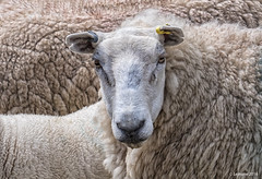 A Sheep in Sheep's Clothing (Robert Lejeune) Tags: livestock portrait farm