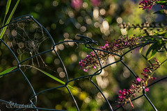 My Garden Fence (Shastajak) Tags: fence cobweb spidersweb web buddleia bokeh morninglight earlymorningsunshine chainlink