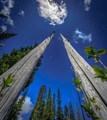 Standing Tall (eddm1962) Tags: deadtrees standingdeadtrees trees snowlaketrail hiking mountrainiernationalpark standingdeadwood
