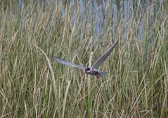 Whiskered Tern - Lake Skadar - 20160610b (mwiddo) Tags: monenegro birds whiskered tern lake skadar
