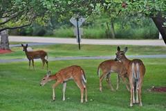 Doe with triplets, under an apple tree (stevelamb007) Tags: whitetail deer doe triplets fawns appletree illinois riverwoods stevelamb nikon d7200 nikkor18200mm wildliffe