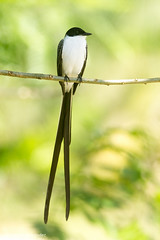 Fork-tailed Flycatcher (Tyrannus savana) (Daniel Hernndez Ugarte) Tags: tyrannussavana forktailedflycatcher tyrannus savana flycatcher costarica color colors birds bird black white long tailed mosquero perched