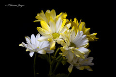 Gentle Group 0115 Copyrighted (Tjerger) Tags: nature beautiful beauty black blackbackground bloom closeup daisy flora floral flower green group macro petals plant portrait stems white winter wisconsin yellow natural gentle