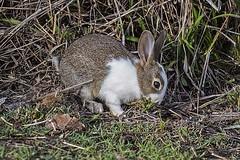 Rabbit (Geoffsnaps) Tags: bjelkepetersendam dam bjelke peterson rabbit nikond810 nikon d810 fx nikonnikkor200500mmf56eedvrafs nikkor 200500mm f56e ed vr afs gitzogm5541carbonmonopod gitzo gm5541 carbon monopod acratechpanoramichead monopodhead acratech panoramic head