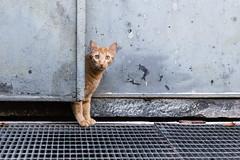 curious red cat behind a door (mario forcherio) Tags: cat strret adorable animal curious cute door feline fur kitten looking one outdoor pet portrait pretty red street