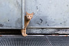 curious red cat behind a door (mario forcherio) Tags: cat strret adorable animal curious cute door feline fur kitten looking one outdoor pet portrait pretty red street