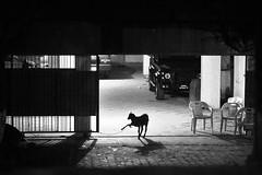 Dances with goats (N A Y E E M) Tags: goat gate basement annex home night rabiarahmanlane chittagong bangladesh carwindow availablelight animal sacrificial eidaladha