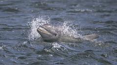 Dolphin (Explored) (Lesley Robb) Tags: vividstriking specanimal brilliant specanimalphotooftheday