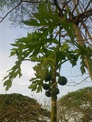 papaya tree (Sasha India) Tags:              ometepeisland ometepe nicaragua journey travel             eljardindelavida puntagorda balgue