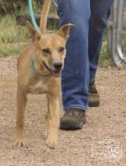 Duke (Shutters for Shelters) Tags: tellercountyregionalanimalshelter shuttersforshelters s4s jillt8 colorado tcras dogs duke walking
