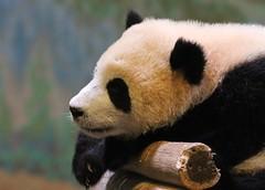 Jia Panpan (Close-up) (praja38) Tags: giantpanda mammal zoo toronto ontario caps cap capricorn life wildlife wild nature fur baby male torontozoo bear canada canadian twins paws claws thumb