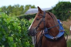 Vignes de Blaye (poirot.joel) Tags: citadelle blaye vin medoc bordeaux chateau ete cheval trait breton vignes charrue