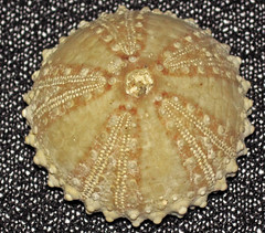 Arbacia waccamaw fossil sea urchin (Pliocene; Intercoastal Waterway, Calabash, North Carolina, USA) 1 (James St. John) Tags: sea fossil north carolina urchin fossils echinoderm regular calabash waccamaw echinoid pliocene echinoidea arbacia