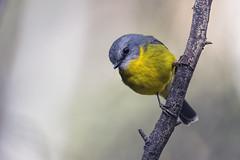 Eastern Yellow Robin 2015-05-03 (_MG_0620) (ajhaysom) Tags: australia melbourne australianbirds greenvale easternyellowrobin eopsaltriaaustralis canoneos6d sigma150600 woodlandshistoricpark