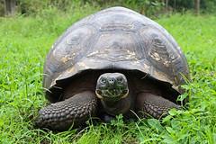 Giant Galapagos Tortoise (Christian Jena) Tags: santa giant tortoise galapagos cruz
