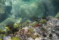 20150530-DSC_0778.jpg (d3_plus) Tags: sea sky fish nature japan scenery underwater snorkeling   shizuoka    izu  manaduru kotogahama   skindiving minamiizu      nikon1  hirizo  nakagi nikon1j1  1nikkorvr1030mmf3556pdzoom