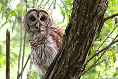 Barred Owl (Mary Sonis) Tags: wildlife owl barred