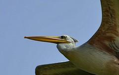 fly by (Breboen) Tags: bird closeup wings flight pelican