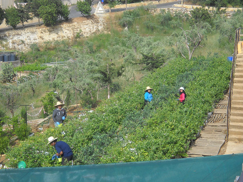 Crew Harvest Blueberry May 23, 2015