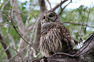 20130104_Everglades-National-Park_3912_Barred-Owl