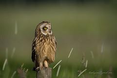 Short-eared Owl (larslaguna) Tags: rovfågel rovfåglar shortearedowl jorduggla owl predator uggla