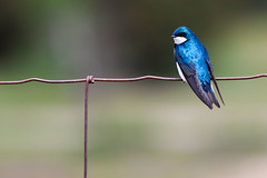 Tree Swallow (judd.furlong) Tags: