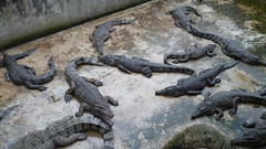 Crocodiles (sofimi) Tags: travel puertoprincesa palawan crocodilefarm palawanwildliferescueandconservationcenter