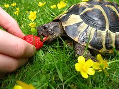 Leo und die Erdbeere (ekeha) Tags: hand leo finger rasen zunge erdbeere schildkrte butterblumen 150521