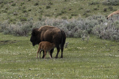 "Bison with Calf • <a style=""font-size:0.8em;"" href=""http://www.flickr.com/photos/63501323@N07/18060147548/"" target=""_blank"">View on Flickr</a>"
