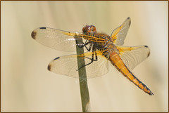 Scarce Chaser (image 2 of 2) (Full Moon Images) Tags: macro nature female insect dragonfly wildlife bcn reserve national trust fen cambridgeshire chaser scarce woodwalton nnr greatfen greatfenproject