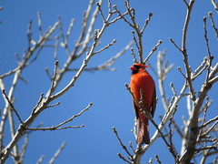 Cardinal Blue 2 (nordicteem) Tags: park blue red cold tree bird minnesota spring cardinal minnehaha