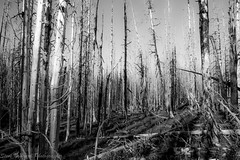 Legacy Of  A Wildfire (nwsteve) Tags: trees fire burn