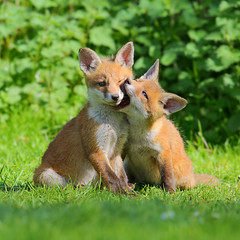 Fox cubs (Vulpes vulpes) playing (Kit Day Photography) Tags: uk red england baby 3 playing canon cub is suffolk spring play mark farm iii young farmland ii bbc 600 fox land 5d cubs mm fighting foxes f4 springwatch vulpes
