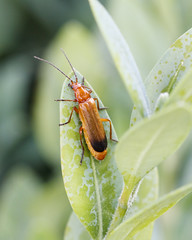 Rhagonyca fulva (Carla@) Tags: nature europa italia wildlife liguria mfcc cantharidae coth coleottero rhagonycafulva naturallywonderful sunrays5 explorenaturethewildnature