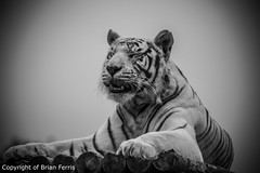 IMGP1976 (acornuser) Tags: uk blackandwhite bw kent pentax sanctuary bigcats whitetiger k3 wildlifeheritagefoundation whf