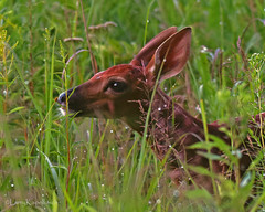 Early Morning Dew (larry kapellusch) Tags: fawn whitetailed deer nature wildlife