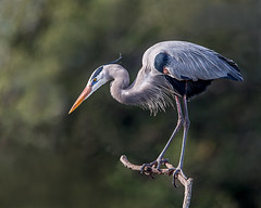 Shall I? (Andy Morffew) Tags: florida explore perched greatblueheron explored venicerookery eiap naturethroughthelens andymorffew morffew