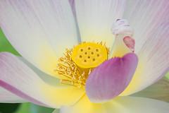 Heart of Gold (Ben-ah) Tags: flower macro garden pond lotus conservatory petal nybg lilypond newyorkbotanicalgarden