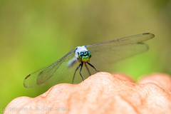 Knuckle Sandwich.  (Explored) (dbifulco) Tags: blue macro male newjersey ode hand dragonfly g knuckle insects andover explore human easternpondhawk nikkor105f28 kittatinnyvalleystatepark kvsp